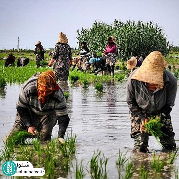 فریدونکنار(برنج طارم)